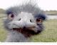 Непрадказальны страус